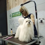 See different dog breeds like this beautiful Maltese in the Philippine Circuit dog show at the Smart Araneta Coliseum