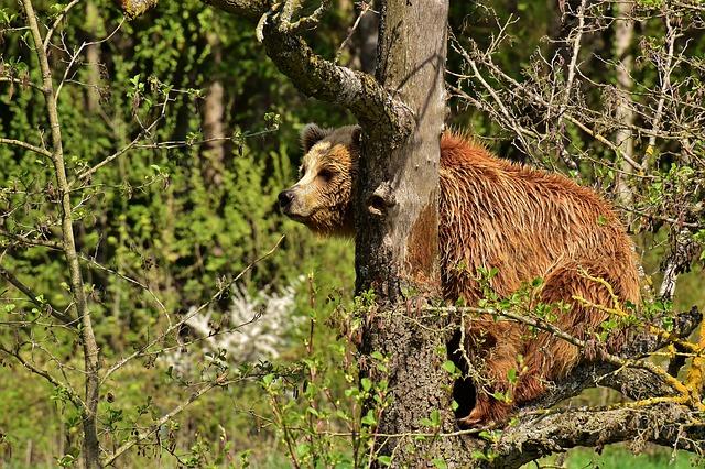 One held in Spain over Pyrenees bear killing