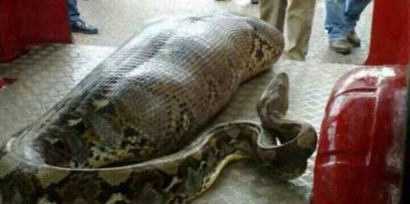Missing Indonesian Woman discovered in Giant Python's belly