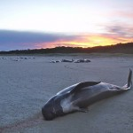 8539319891_68c7f2006b_pilot-whale