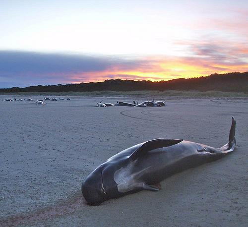 Pilot whale meat poses health hazard