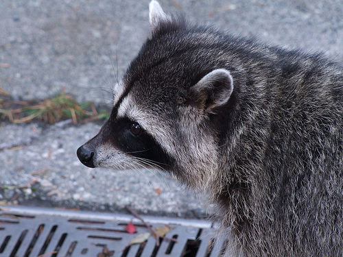 Firefighters rescue raccoon that got head stuck in mayo jar