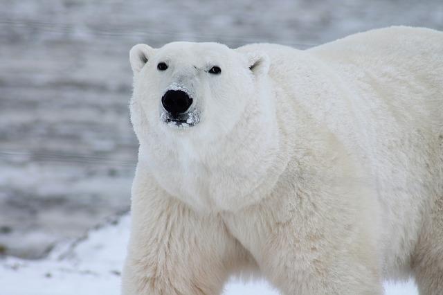 Polar bear attacks cruise ship employee on Artic island