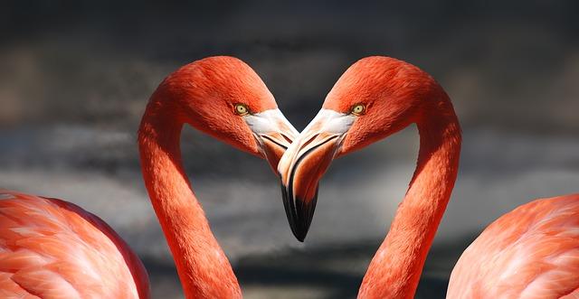 British charity says heat wave put flamingoes in the mood