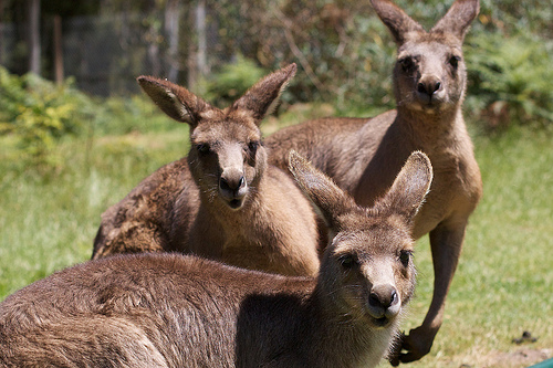 Australia kangaroo attack leaves three hurt