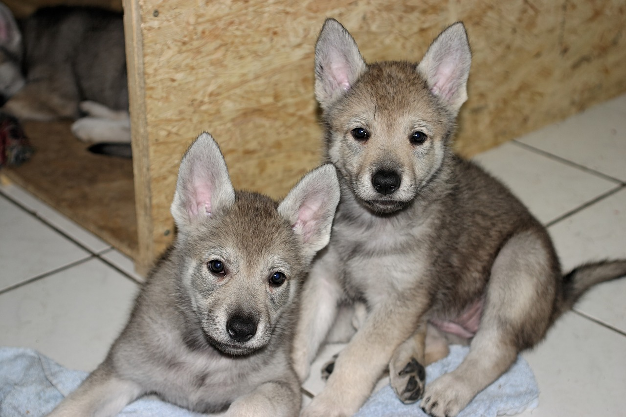 Wolf puppies play fetch too – study