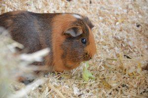 hamster, pet [Photo by Anastasia Kalies on Unsplash]