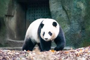panda [Photo by Stan Wang on Unsplash]
