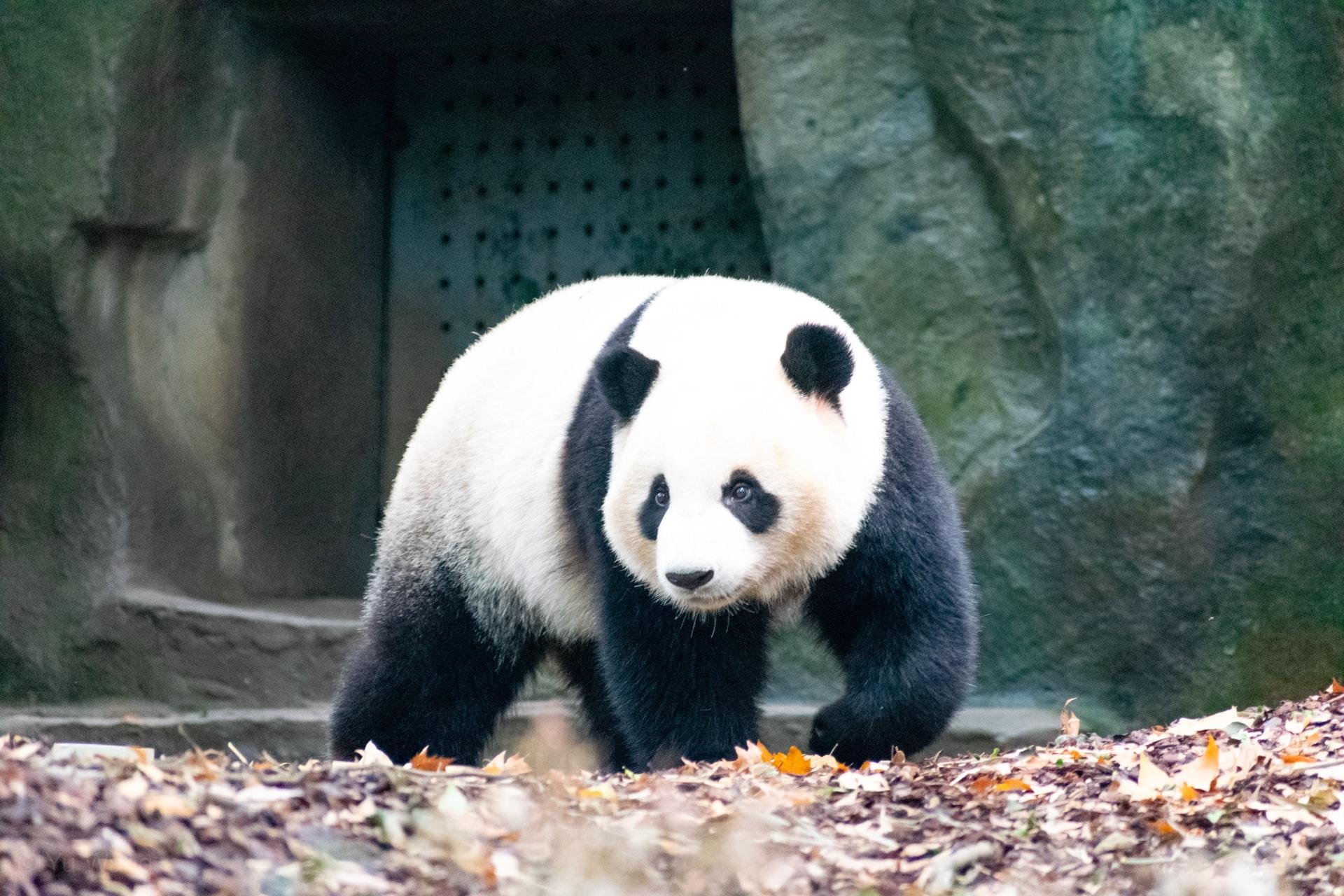 Giant panda twins born at Madrid zoo