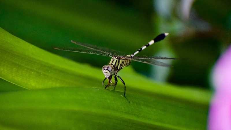 Invasive Asian mosquito species threatens African cities: study