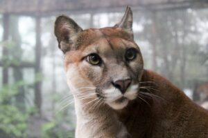 puma [Photo by Leah Huyghe on Unsplash]