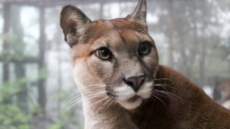 11-month old Puma rescued from New York apartment